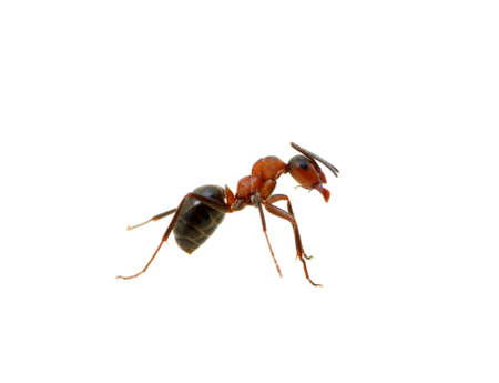 formicidae: Ant isolated on white background Stock Photo