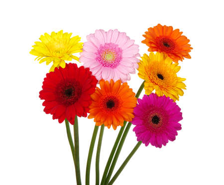 daisy stem: gerbera daisies on a white background Stock Photo