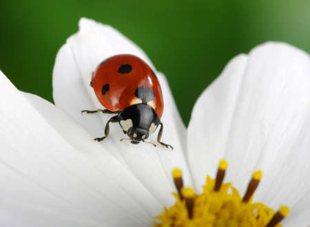 Ladybug and flower on a green background photo