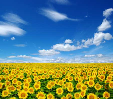 zonnebloemen veld op bewolkte blauwe hemel Stockfoto