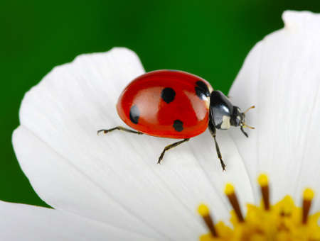 Ladybug and flower on a green  photo