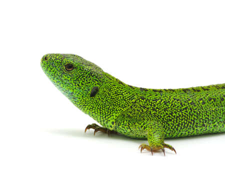 green lizard isolated on white background  photo
