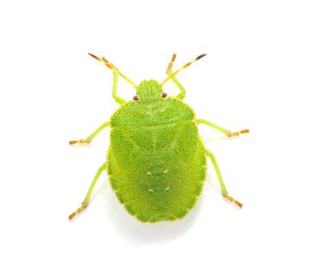 Green shield bug species Palomena prasina on white photo