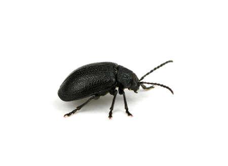black beetle isolated on white  photo