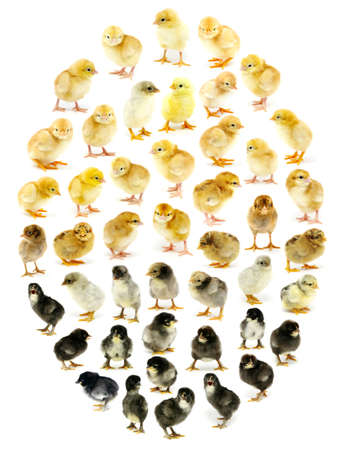 agricultura: Chickens form the egg on white
