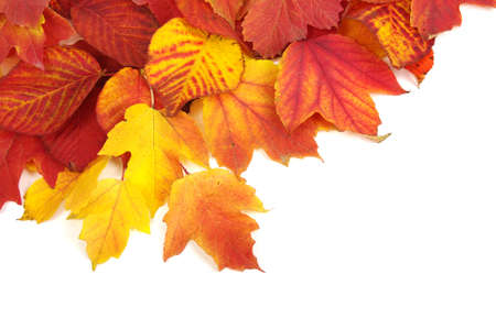 colorful leaves:  autumn leaves isolated on white background