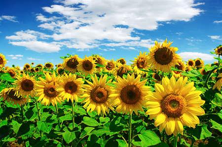 field of flowers: sunflowers field on cloudy blue sky Stock Photo