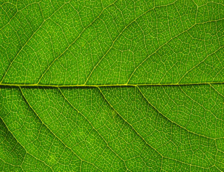 leaf close up: close up of green leaf texture