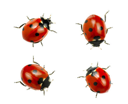 Collection of ladybugs isolated on white Standard-Bild