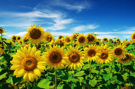 sunflowers field on cloudy blue sky Stock Photo