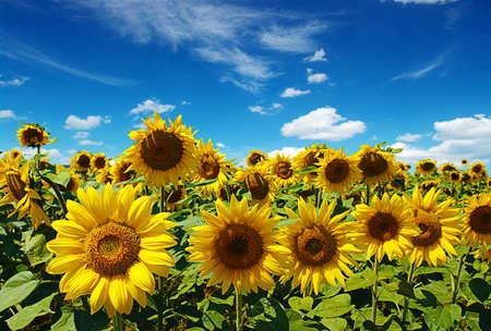 campo de flores: campo de girasoles en el cielo azul nublado Foto de archivo