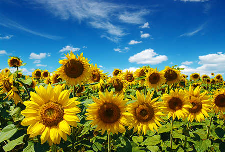 yellow leaves: sunflowers field on cloudy blue sky Stock Photo