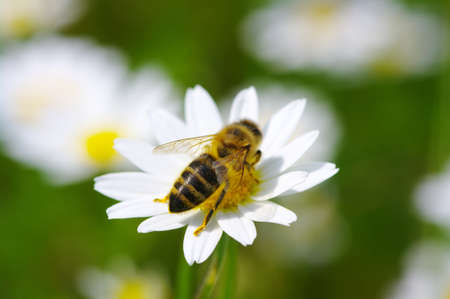 chamomile flower: Bee on the chamomile flower