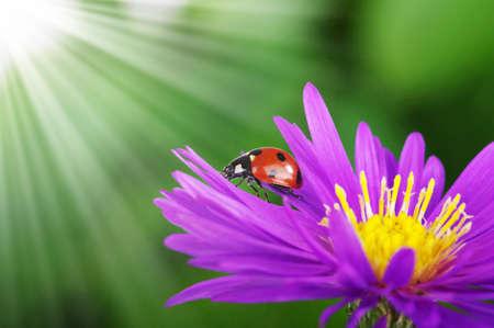 ladybug on leaf: Ladybug and flower on a green background Stock Photo