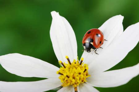 Coccinelle et fleur sur un fond vert