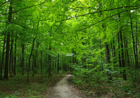 green forest: Path in the green forest