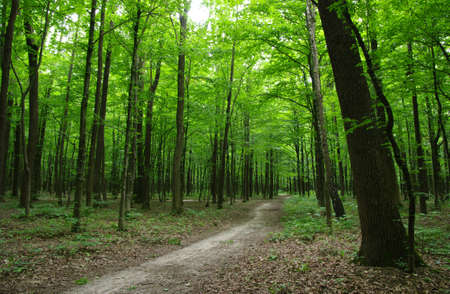 forest path: Path in the green forest