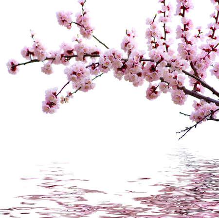 arbol de cerezo: Rama con flores de color rosa aisladas sobre fondo blanco Foto de archivo