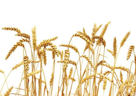 白い背景に分離された小麦
