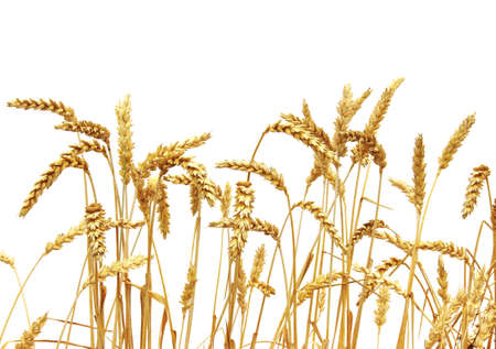 blé isolé sur un fond blanc Banque d'images - 37718372