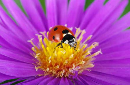 ladybug on leaf: Ladybug on flower