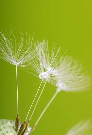 dandelion flower on green  background Stock Photo