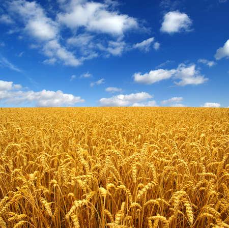 cosecha de trigo: Campo de trigo  Foto de archivo