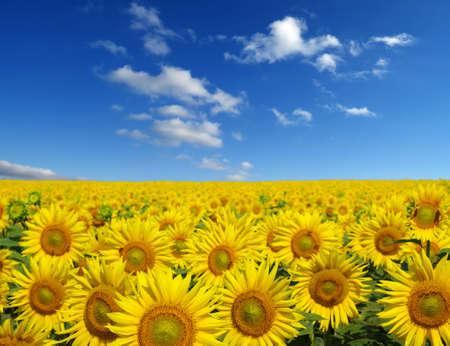 zonnebloemen veld op hemel achtergrond