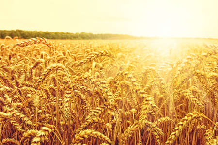 Field of wheat and sun Stock Photo