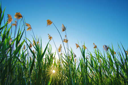 reed stem: Sunset with bush and orange sky Stock Photo