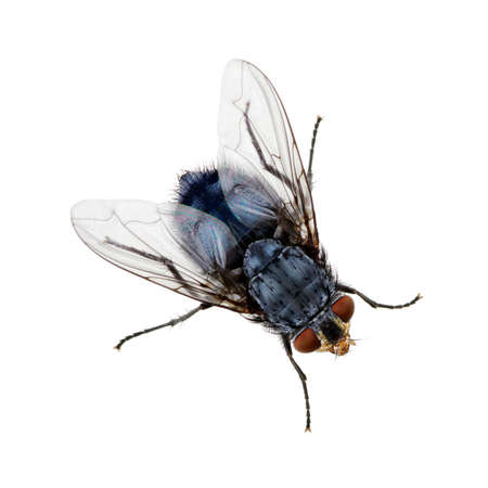 volar: Un tiro macro de la mosca en un fondo blanco. Casa Vivo vuela .Insect primer plano