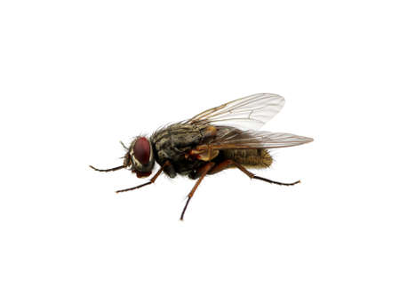 malady: A macro shot of fly on a white background . Live house fly .Insect close-up Stock Photo