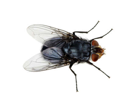 fly: A macro shot of fly on a white background . Live house fly .Insect close-up Stock Photo