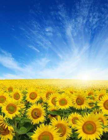 campo de flores: campo de girasoles y sol en el cielo azul.
