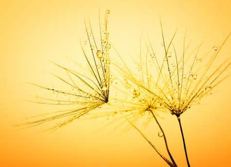 orange sunset: Dandelion seed in golden sunlight
