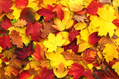 hojas de arbol: fondo de hojas ca�das del oto�o Foto de archivo