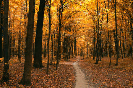 autumn colour: autumn trees in the forest