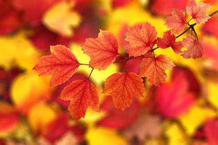yellow: Fall, autumn, leaves background. A tree branch with autumn leaves on a blurred background
