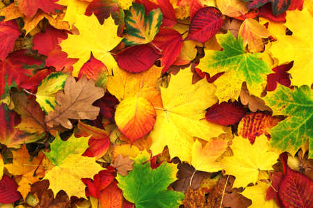 fall of the leaves: background of fallen autumn leaves