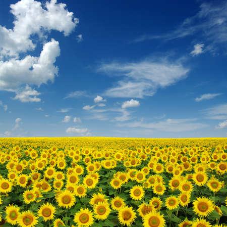 semillas de girasol: girasoles campo en fondo del cielo Foto de archivo