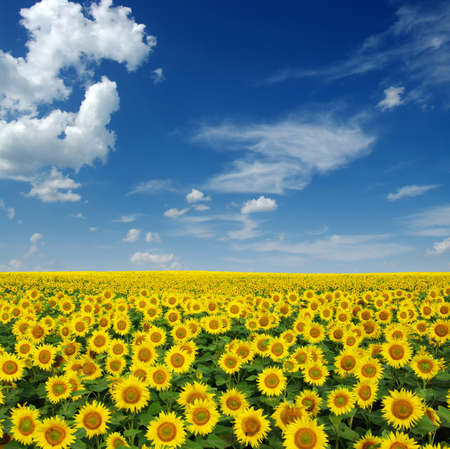 sunflower seed: sunflowers field on sky background