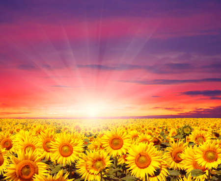 beautiful summer: sunset landscape at sunflower field