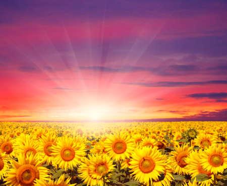sunset landscape at sunflower field