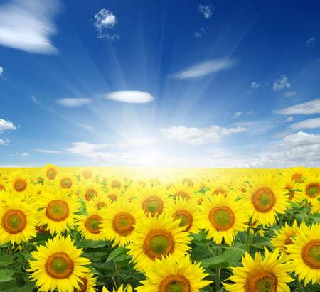 veld met zonnebloemen en zon in de blauwe lucht. Stockfoto