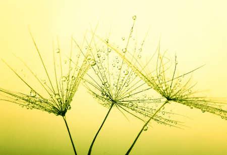 spring green: Dandelion seed in golden sunlight