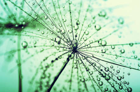blue dandelion: Abstract macro photo of dandelion seeds with water drops