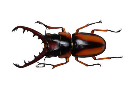 horn beetle: Stag beetle isolated on white