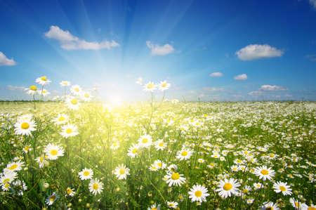 ヒナギク、青い空と太陽のフィールドです。 写真素材