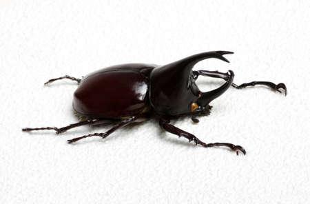 rhino: Rhinoceros beetle, Rhino beetle, Hercules beetle, Unicorn beetle, Horn beetle. Stock Photo