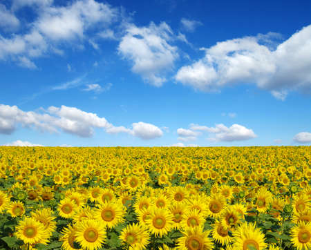 sunflower: sunflowers field on sky background